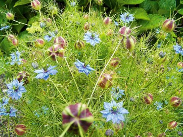 "Love in a Mist (Nigella): symbolizes ""perplexity"" perhaps for the odd seed pod that looks nothing like its delicate flowers and foliage."