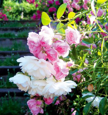"""Combining pink and white roses sends the message that (pink) """"you are lovely and graceful"""" and (white) """" I am worthy of you."""""""