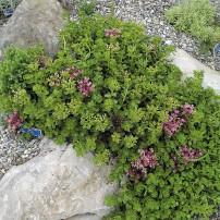 Sedum sp. (Stonecrop)