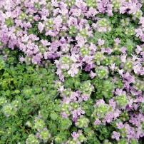 Thymus sp. (Thyme)
