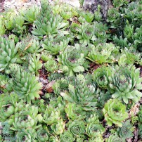 Sempervivum sp. (Hens & Chicks)