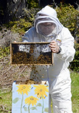 Frank Wilson, shaking a package of bees into a Warre hive.