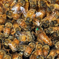 Find the queen — she has a green dot on her head.