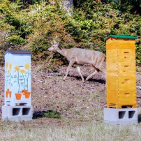 A deer sneaking by Lynn's hive on the left and Frank's hive on the right.