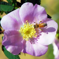 The bee's body gets dusted with pollen as it searches for nectar.