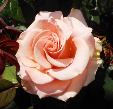 Marilyn Monroe hybrid tea rose