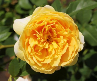 Golden Celebration David Austin English rose