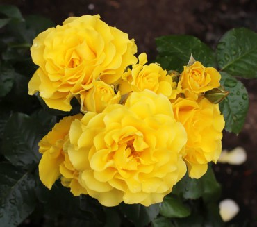 Sparkle and Shine floribunda