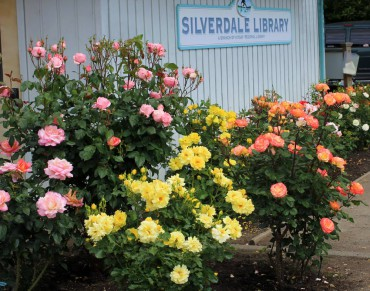 Silverdale Library garden in full bloom in June