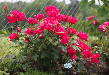 Knock Out shrub (The large category of modern shrub roses)