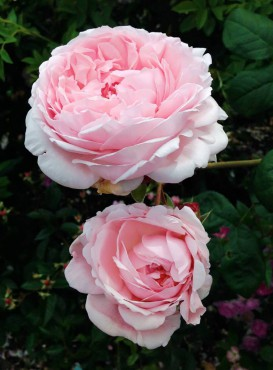 Eglantine David Austin English rose