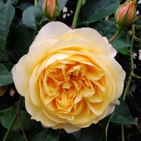 Graham Thomas David Austin English rose