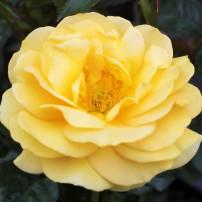 Julia Child floribunda
