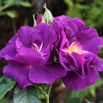 Rhapsody in Blue shrub (The large category of modern shrub roses)