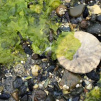 Sand dollar at low tide