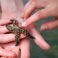 Guests carefully handle a mottled sea star