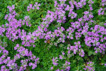 Ground Cover Elfin thyme