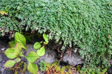 Ground Cover Woolly thyme