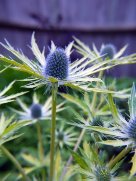 Eryngium 'Neptune's Gold' in bloom (Photo courtesy Plants For Europe Limited)