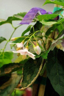 Styrax japonicus 'JL Weeping'