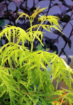 Sambucus racemosa 'SMNSRD'