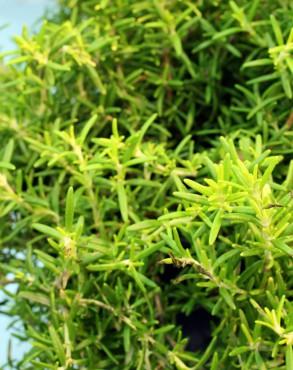 Rosmarinus officinalis 'Wilma's Gold'