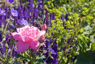 Old Roses, Companions And Pests