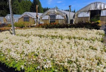 Sundquist Nursery A crop of epimedium in full bloom