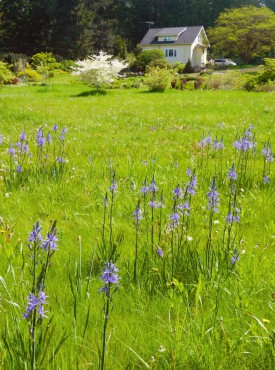 Sundquist Nursery Native camas brightens the pasture in May.