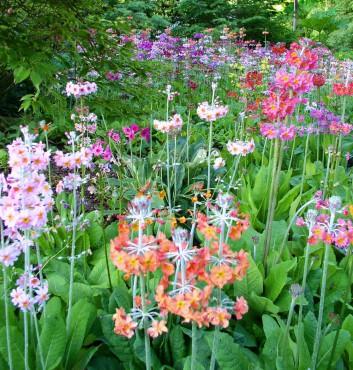Sundquist Nursery Candelabra primroses in the Sundquist preschool gardens