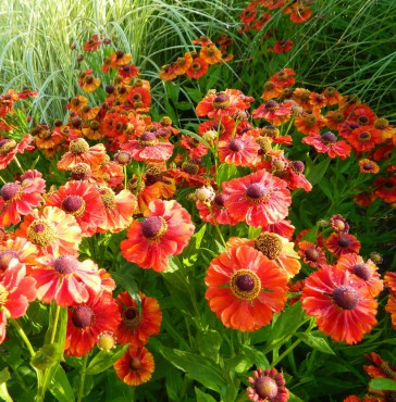 "Sundquist Nursery Helenium ""Moerheim Beauty"" glows in the Sundquist garden."