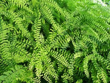 Sundquist Nursery Native maidenhair fern in production