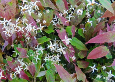Sundquist Nursery Dramatic spring growth and blooms on Epimedium affinity wushanense (Wushan fairy wings)
