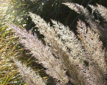 Sundquist Nursery Diamond grass (Calamagrostis brachytricha) in the meadow border