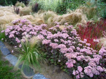 Sundquist Nursery Sedum Matrona and feather grass in the meadow border