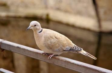 Eurasian collared dove, latin name Streptopelia decaocto