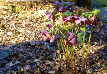 A hellebore is mulched with fallen wisteria leaves.