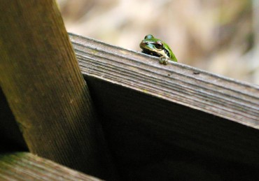 A frog peeks over the deck rail.