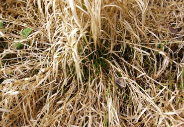 An ornamental grass before being cut back in March — protection for the tender new growth and against soil erosion.