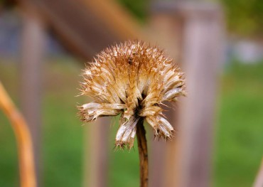 Echinops (globe thistle) seed left on the plant feeds winter songbirds.