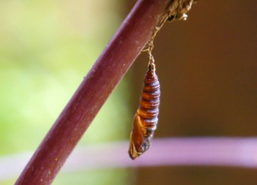 "An insect pupates in the garden over winter, begging the question: ""What are you?"""