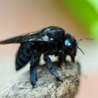 Get The Dirt - Carpenter Bees