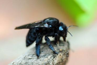 Get The Dirt - Carpenter Bees