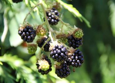 Get The Dirt - Blackberries