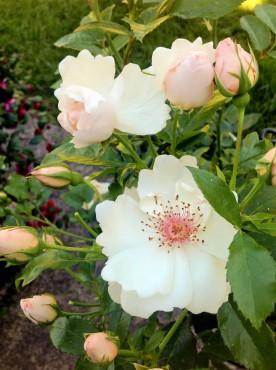Jacqueline du Pré – shrub rose