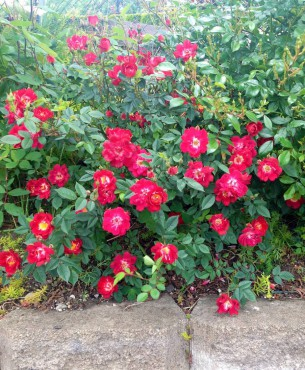 Easy-care roses