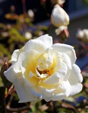 Reve d'Or – EK rose