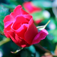 La Marne – EK rose