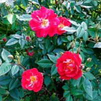 Easy-care rose