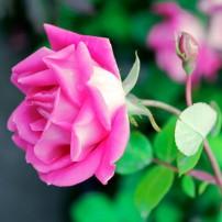 Pink Knock Out – EK rose